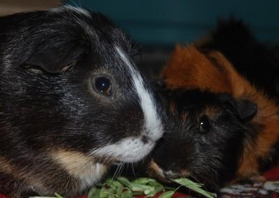 Traumschweinchen Fynn mit seinem Herzblatt Toffifee - danke Sandra1